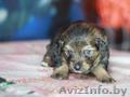 маленькие Цвергшнауцер щенки