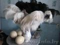 Африканские страусы: цыплята птенцы  - Изображение #4, Объявление #1566989